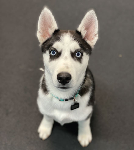 Husky sitting puppy