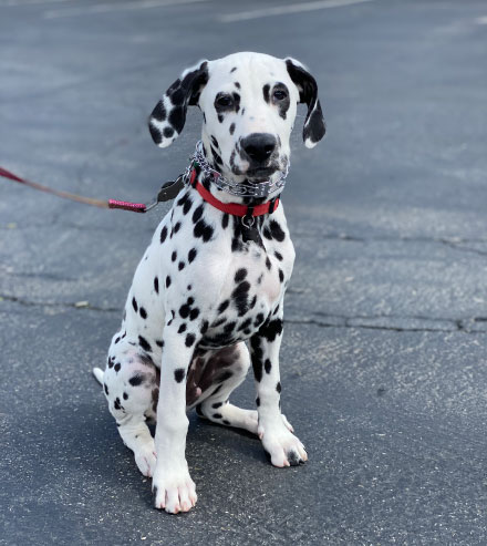 Dalmation Dog sitting